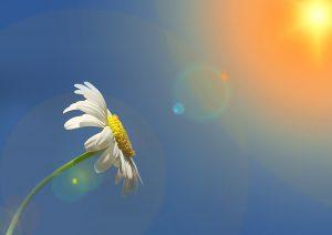 Effekten af personlig udvikling. Billede af marguerite, som vender mod solen.