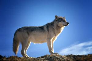 Flot ulv med blå himmel i baggrunden.